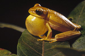 Tree Frog (Hyla goiana) calling during courtship to attract a female, Cerrado ecosystem, Brazil - Claus Meyer