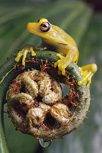 Tree Frog (Hyla sp) balanced on fern fiddlehead, Atlantic Forest, Brazil  -  Claus Meyer