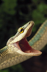Parrot Snake (Leptophis ahaetulla) with mouth open in defense display, Caatinga ecosystem, Brazil  -  Claus Meyer