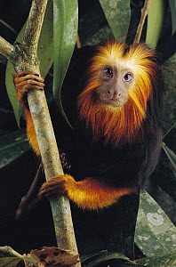 Golden-headed Lion Tamarin (Leontopithecus chrysomelas), Atlantic Forest, Brazil  -  Claus Meyer