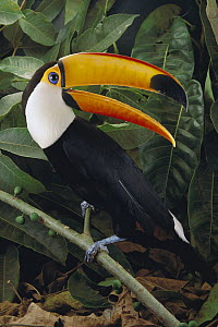 Toco Toucan (Ramphastos toco) calling while perching on branch, Cerrado, Brazil  -  Claus Meyer