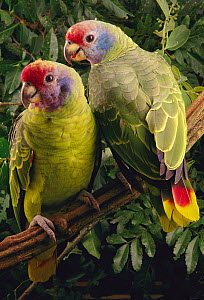 Red-tailed Amazon (Amazona brasiliensis) pair, southern Brazil  -  Claus Meyer