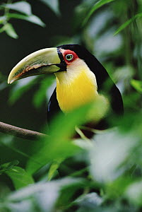 Red-breasted Toucan (Ramphastos dicolorus) portrait, Atlantic Forest ecosystem, Brazil  -  Claus Meyer