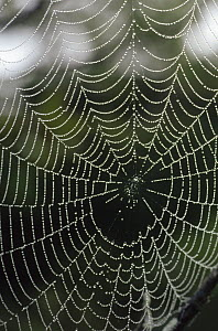 Spider web retaining raindrops, Atlantic Forest ecosystem, Brazil  -  Claus Meyer