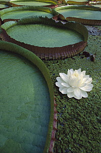 Amazon Water Lily (Victoria amazonica) flower and lily pad, Amazon, Brazil  -  Claus Meyer