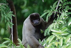 Humboldt's Woolly Monkey (Lagothrix lagotricha) sitting in tree, Amazon ecosystem, Brazil - Claus Meyer