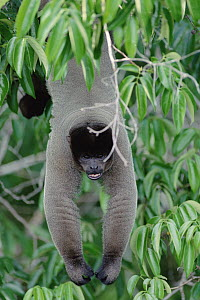 Humboldt's Woolly Monkey (Lagothrix lagotricha) hanging in tree, Amazon ecosystem, Brazil - Claus Meyer
