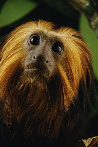 Golden-headed Lion Tamarin (Leontopithecus chrysomelas) portrait, Atlantic Forest ecosystem, Brazil  -  Claus Meyer