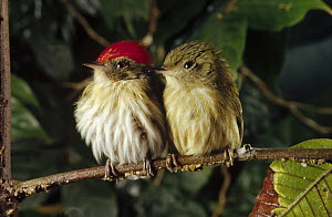 Striped Manakin (Machaeropterus regulus) couple perching on branch, Atlantic Forest ecosystem, Brazil  -  Claus Meyer