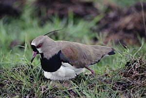 Southern Lapwing (Vanellus chilensis) mother incubating eggs on ground nest, Pantanal ecosystem, Brazil  -  Claus Meyer