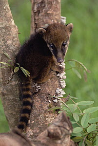 Coatimundi (Nasua nasua) young in tree, Pantanal ecosystem, Brazil  -  Claus Meyer