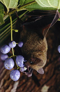 Silky Short-tailed Bat (Carollia brevicauda) feeding on fruit, Amazon ecosystem, Brazil  -  Claus Meyer