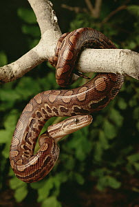 Rainbow Boa (Epicrates cenchria) hanging from tree branch, Caatinga ecosystem, Brazil  -  Claus Meyer