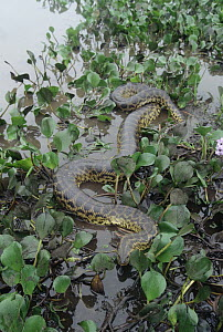 Green Anaconda (Eunectes murinus) moving through wetland vegetation, Pantanal ecosystem, Brazil  -  Claus Meyer