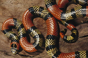 Aquatic Coral Snake (Micrurus surinamensis) showing warning color pattern, Amazon ecosystem, Brazil  -  Claus Meyer