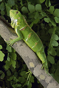 Green Iguana (Iguana iguana) clinging to branch in tropical rainforest, Caatinga, Brazil  -  Claus Meyer