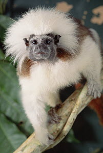 Cotton-top Tamarin (Saguinus oedipus), Colombia  -  Claus Meyer