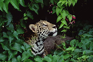 Jaguar (Panthera onca) peeking out through foliage and flowers, Amazon, Brazil  -  Claus Meyer
