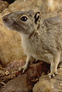 Rock Cavy (Kerodon rupestris) ecosystem of Caatinga, Brazil  -  Claus Meyer