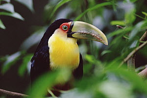 Red-breasted Toucan (Ramphastos dicolorus) close-up through vegetation, south Brazil  -  Claus Meyer