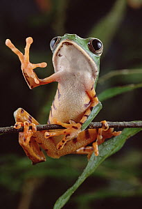 Tiger-striped Leaf Frog (Phyllomedusa tomopterna) waving, Amazon rainforest, Brazil  -  Claus Meyer