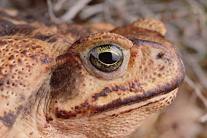 Cururu Toad (Bufo paracnemis) portrait of female, Caatinga, Brazil  -  Claus Meyer