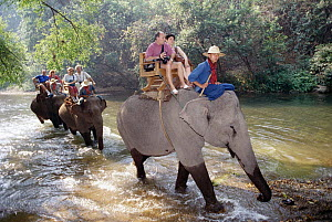 Asian Elephant (Elephas maximus) carrying tourists, Chiang Mai, Thailand  -  Claus Meyer