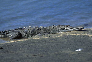 American Crocodile (Crocodylus acutus) resting on bank, Riohacha, Colombia  -  Claus Meyer