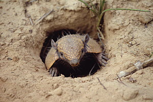 Yellow Armadillo (Euphractus sexcinctus) peeking out of burrow, Caatinga ecosystem, Brazil  -  Claus Meyer