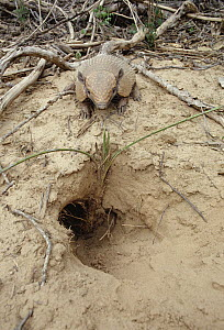 Yellow Armadillo (Euphractus sexcinctus) at burrow, Caatinga ecosystem, Brazil  -  Claus Meyer