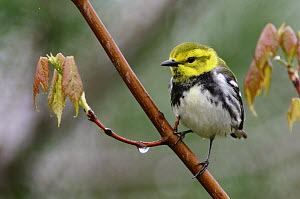 Black-throated Green Warbler (Setophaga virens) female, Nova Scotia, Canada  -  Scott Leslie