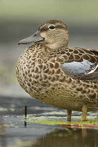 Blue-winged Teal (Anas discors) female standing in pond, Annapolis Royal, Nova Scotia, Canada  -  Scott Leslie