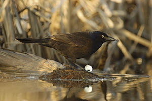 Common Grackle (Quiscalus quiscula) on pond edge holding egg shell, Belleisle Marsh, Annapolis Valley, Nova Scotia, Canada - Scott Leslie