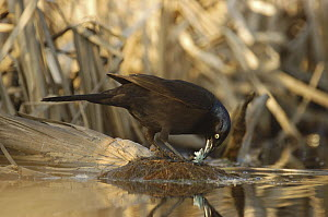 Common Grackle (Quiscalus quiscula) feeding on egg, Belleisle Marsh, Annapolis Valley, Nova Scotia, Canada - Scott Leslie