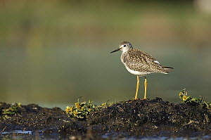 Lesser Yellowlegs (Tringa flavipes), Belleisle Marsh, Annapolis Valley, Nova Scotia, Canada  -  Scott Leslie