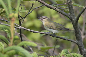 Red-eyed Vireo (Vireo olivaceus) calling, Hollow Mountain, Nova Scotia, Canada  -  Scott Leslie