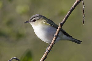 Red-eyed Vireo (Vireo olivaceus) portrait, Hollow Mountain, Nova Scotia, Canada  -  Scott Leslie