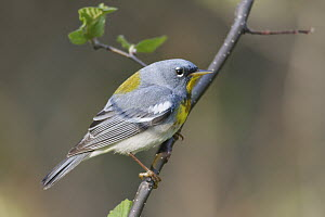 Northern Parula (Setophaga americana) male in breeding plumage, Nova Scotia, Canada  -  Scott Leslie