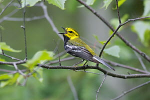 Black-throated Green Warbler (Denrdoica virens) male singing, Nova Scotia, Canada  -  Scott Leslie