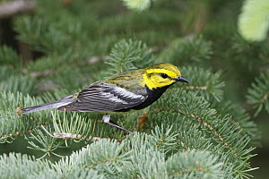 Black-throated Green Warbler (Denrdoica virens) male in pine tree, Nova Scotia, Canada  -  Scott Leslie
