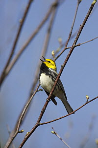 Black-throated Green Warbler (Setophaga virens) male singing territorial song, Nova Scotia, Canada  -  Scott Leslie