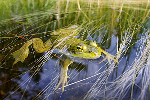 Northern Green Frog (Rana clamitans melanota) floating in water, West Stoney Lake, Nova Scotia, Canada - Scott Leslie