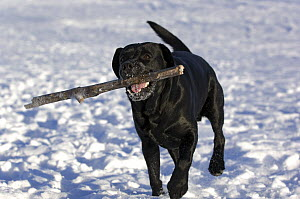 Labrador Retriever (Canis familiaris) retrieving stick in snow - Mark Raycroft
