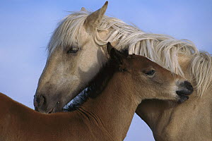 Mustang (Equus caballus) palomino yearling filly and her spring foal brother grooming each other, Pryor Mountain Wild Horse Range, Montana - Yva Momatiuk & John Eastcott