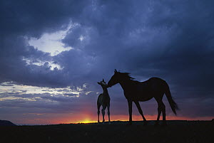 Mustang (Equus caballus) mare and foal silhouetted against evening sky during summer, Montana  -  Yva Momatiuk & John Eastcott