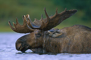 Alaska Moose (Alces alces gigas) bull with water dripping from antlers after feeding in glacial kettle pond, Denali National Park and Preserve, Alaska - Yva Momatiuk & John Eastcott