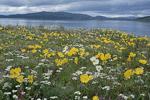Arctic Poppy (Papaver lapponicum) flowers blooming in summer, Nain, Labrador, Canada - Yva Momatiuk & John Eastcott