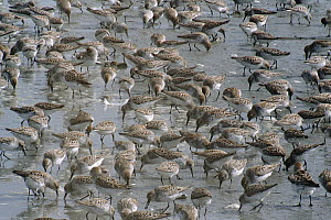 Western Sandpiper (Calidris mauri) migrate to breed on arctic coast, feeding on insects, worms and crustaceans on mudflats during low tide, Copper River Delta, spring, Alaska  -  Yva Momatiuk & John Eastcott
