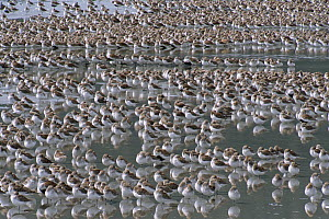 Western Sandpiper (Calidris mauri) migrate to breed on arctic coast, roosting during high tide before feeding on worms, insects and crustaceans on mudflats during low tide, Copper River Delta, spring,...  -  Yva Momatiuk & John Eastcott