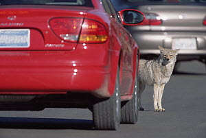 Coyote (Canis latrans) looking for handouts from tourists, Mather Point parking lot on South Rim, Grand Canyon National Park, Arizona  -  Yva Momatiuk & John Eastcott